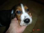 Chien basset hound boulette - Basset Hound  (0 mois)