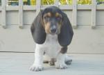 Chien Virgile le petit basset hound - Basset Hound  (0 mois)