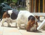 Chien DomTom le basset-hound - Basset Hound  (0 mois)