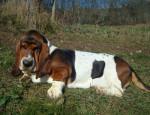 Chien Grussgott le basset-hound - Basset Hound  (0 mois)