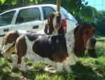 Chien DomTom & Grussgott les basset-hound - Basset Hound  (0 mois)