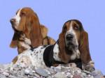 Chien Billy et Allumette - Basset Hound Femelle (0 mois)