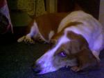 Chien Allie - Basset Hound Femelle (3 ans)
