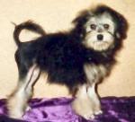 Chien Petit Chien Lion - Petit chien lion  (0 mois)