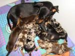 Chien ses freres et soeurs - Pinscher nain  (1 mois)