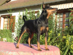 Chien Pinscher nain Multi.Champion Ugo Tornado du Blue Saint Germer - Pinscher nain  (0 mois)