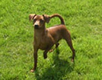 Chien Champion Ugor Cheeky Boy de Blue Saint Germer,Pinscher Nain - Pinscher nain  ()