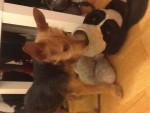 Chien Nicky - Pinscher nain Femelle (5 mois)