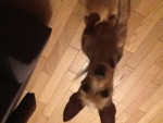 Chien Nicky qui veut une friandise - Pinscher nain Femelle (6 mois)