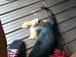 Chien Petite Nicky qui dort - Pinscher nain Femelle (3 mois)