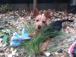 Chien Petite Nicky qui pose - Pinscher nain Femelle (3 mois)