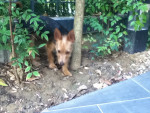 Chien Petite Nicky - Pinscher nain Femelle (3 mois)