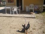 Chien Blacky protège la maison ! - Pinscher nain Mâle (2 ans)