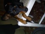 Chien Akira - Pinscher nain Femelle (1 an)