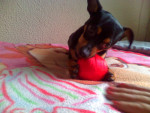 Chien chiquito - Pinscher nain Mâle (2 ans)
