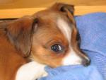 Chien bib - Pinscher nain Mâle (1 mois)