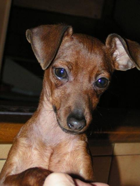 photo alzane pinscher nain pinscher nain