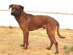 Chien Prince - Rhodesian Ridgeback  (0 mois)