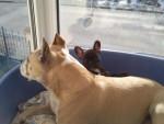 Chien saïaneamericain stafforshire terrier et dioly bouledogue francais - Bouledogue français  (0 mois)