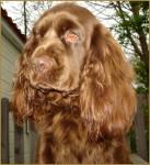 Chien Elastic - Sussex Spaniel Femelle (2 ans)