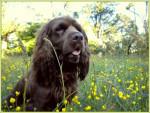 Chien Elastic en las flores - Sussex Spaniel Femelle (2 ans)