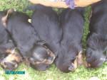 Chien ökih - Terrier Brésilien Mâle (1 mois)