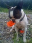 Chien Sumo - Terrier Brésilien Mâle (3 ans)