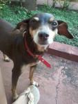 Chien Talia - Terrier Brésilien Femelle (12 ans)