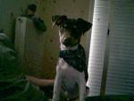 Chien errado terrier brésilien - Terrier Brésilien  (0 mois)