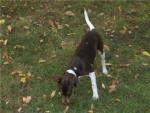 Chien Errado du repère des mandets terrier brésilien - Terrier Brésilien  (0 mois)