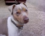 Chien Alto, Terrier Brésilien, 5 ans - Terrier Brésilien  (5 ans)
