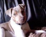 Chien Terrier Brésilien 5 ans : Alto - Terrier Brésilien  (5 ans)