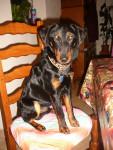 Chien Tyson - Terrier de chasse allemand Mâle (1 an)