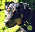 Chien Terrier de Chasse Allemand - Terrier de chasse allemand  (0 mois)