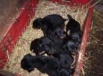 Chien bébé jagd terrier - Terrier de chasse allemand  (2 mois)