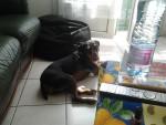 Chien Flash - Terrier de chasse allemand Mâle (4 ans)