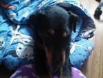 Chien Mi perro - Terrier de chasse allemand Mâle (4 ans)