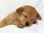 Chien mi periito - Terrier japonais Femelle (2 mois)