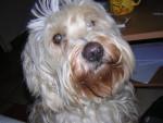 Chien Terrier Tibétain - Ships - Terrier du Tibet  (0 mois)