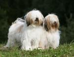 Chien Terriers du Tibet: Geikie et Babydol - Terrier du Tibet  (0 mois)