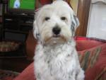 Chien Odi - Terrier tibétain Femelle (1 an)
