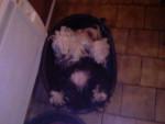 Chien terrier du tibet       RALAÏ LAMA - Terrier tibétain  (0 mois)