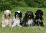 Chien Dajra, Geisha, Engel et Harry - Terrier tibétain  (0 mois)