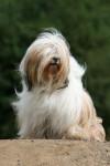Chien Terrier du Tibet : Babydol - Terrier tibétain  (0 mois)