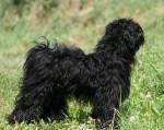 Chien Terrier du Tibet : EISHA - Terrier tibétain  (0 mois)