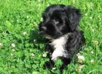 Chien Chiot terrier du tibet  : Gimpa - Terrier tibétain  (0 mois)