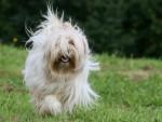 Chien Terrier du Tibet en pleine course :Firstbaby - Terrier tibétain  (0 mois)