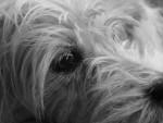 Chien Shyva 7 ans, terrier du tibet - Terrier tibétain  (7 ans)
