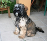 Chien Etan Terrier du Tibet 7 mois - Terrier tibétain  (7 mois)