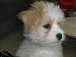 Chien Kaminouz petite Terrier Tibétaine de 4 mois - Terrier tibétain  (4 mois)